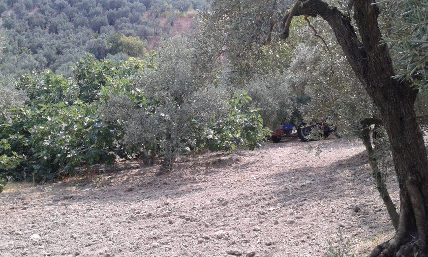 Mudanya Zeytinbağı Satılık Zeytinlik
